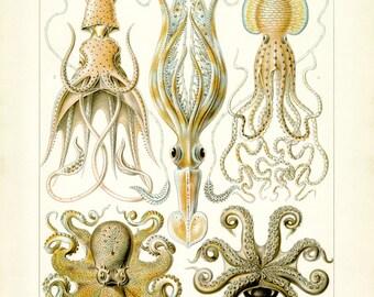 Ernst Haeckel, Octopus Art, Octopus Illustration, Squid Art, Squid Illustration, Squid Octopus, Octopus Squid, Art Octopus, Illustration Art
