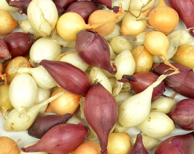 Mixed Red White and Yellow Onion Sets Organic Non-GMO | Onion Bulbs  4 Pounds Spring Shipping
