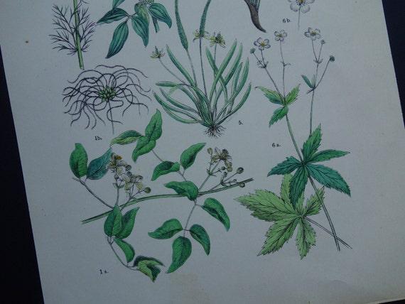 Oude Botanische Prenten : Botanische prachtige items best botanische poster mit grnen