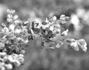 Black and white photography print large floral artwork, flower bluebonnet wall art, grey shabby chic bedroom bathroom powder room wall decor