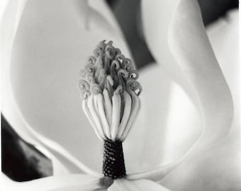 Black and  White Photograph------Magnolia