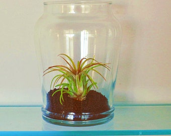 Tillandsia (Air Plant) in glass vase