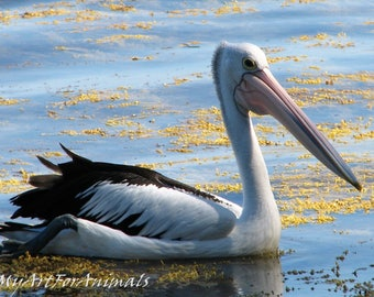 Pelican photo, Australia, floating with weed, photo, birds, native, feathers,
