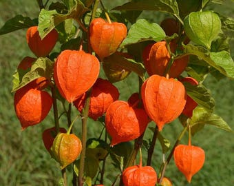 500  Physalis alkekengi , Bladder cherry, Chinese lantern.Japanese lantern Seeds