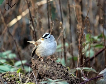 Fine art print White Crowned Sparrow