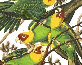 Parrot Print - Antique bird Illustration - Carolina Parrot - James Audubon print