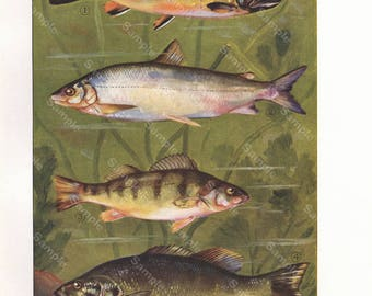 Original Antique Natural History Fish Print.decorative art, Authentic Print, food