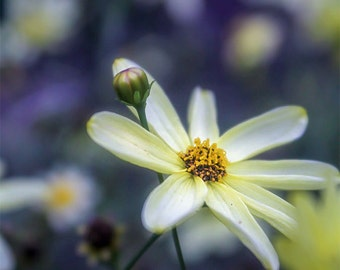 Yellow flower photography, nature photography, yellow and purple, micro photography, close up flower photography, Moonbeam flower, daisy