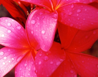 Red Plumeria in the Hawaiian Rain - Fine Art Photo Greeting Card Blank Inside - Flower Photography - Nature Photography - Handmade Note Card