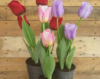 Tri-Color Tulips