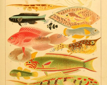 antique fish print from an 1893 book on the Great Barrier Reef, printable digital download no. 1774