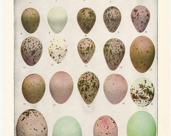Old 1917 ANTIQUE EGGS Of AMERICAN Birds Book Plate