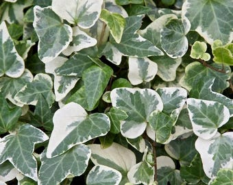 Green & White Variegated Glacier Ivy Hedera Ivy - Rooted Cuttings