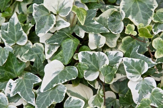 Green & White Variegated Glacier Ivy Hedera Ivy Rooted