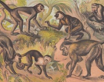 Various Monkeys Green Monkey Macaque Monkey Spider Monkey Proboscis Monkey Capuchin Monkey Primates Wildlife Animals Antique Lithograph 1880