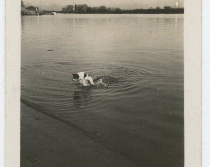 Dog Running in Water: Vintage Snapshot Photo (610509)