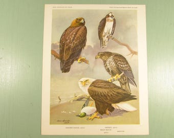 Bird Portrait Print - Vintage Golden Bald Eagle Osprey