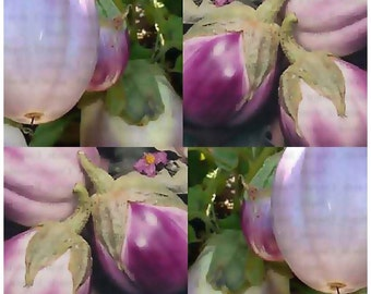 ROTONDA BIANCA SFUMATA Di Rosa Italian Eggplant seeds - large fruits For stuffing - 70 - 80 Days