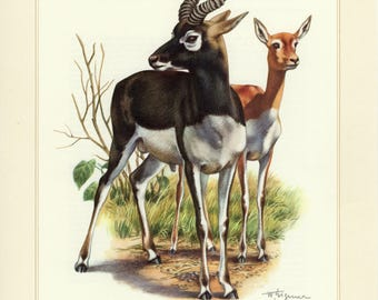 Vintage lithograph of the blackbuck or Indian antelope from 1956
