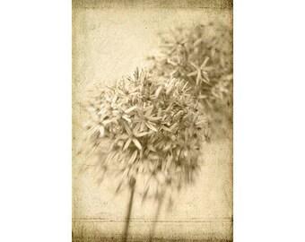 Sepia Photograph, Allium Still Life,  Flower Photography, Botanical Art, Shabby Chic  Wall Decor