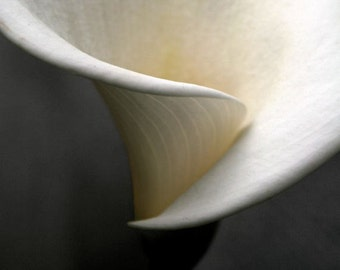 "Calla lily photograph, abstract wall art, flower photo, white -- ""Abstract Calla"", a 5x5-inch fine art photo"