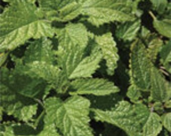 Lemon Balm - 100 seeds - Herb
