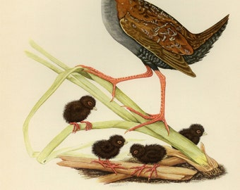 Vintage lithograph of the Baillon's crake from 1953