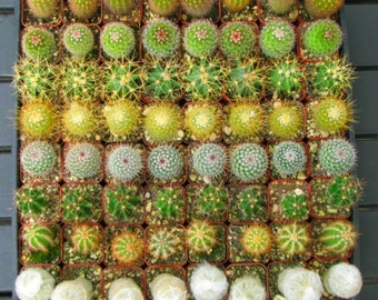 100 Party Favors Potted Mini Cactus Collection in 2 inch pots