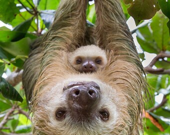Animal Nursery Art, MOM and BABY SLOTH, Baby Animal Photography, Wildlife Photography, Safari Nursery Decor, Safari Baby Shower, Zoo