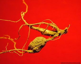 Wild American Ginseng Roots (4 g) #2015-31b. Superior, Dry, NC Certified, Xi Yang Shen Herbal Tonic