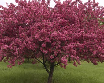 TreesAgain Red Splendor Crabapple Tree - Malus 'Red Splendor' - 9 to 14+ inches (See State Restrictions)
