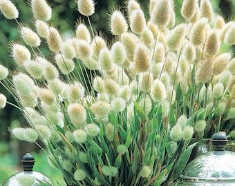 Hare's tail grass gardening seeds