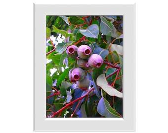 Digital Photo - Gumnuts - Australian Native