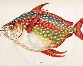 Vintage Opah Fish Printable Aquatic Illustration 1800s Antique Fishes Print Digital Image Clip Art Retro Drawing Instant Download Graphic ZS