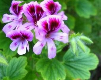 Rose Geranium 10ml High Quality