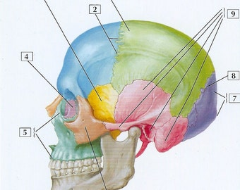 Skull Lateral View Anatomy Flash Card by Frank H. Netter to Frame or for Paper Arts, Collage Scrapbooking and MORE PSS 2719