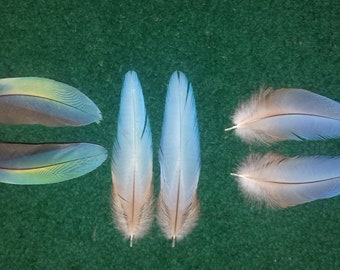 Macaw feathers,three matched pair, naturally molted feathers. Cruelty free