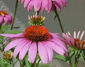 Purple Cone Flowers  Digital Download