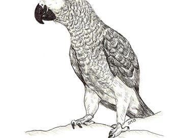Sally Blanchard Original Pen and Ink Drawing of a standing Congo African Grey Parrot