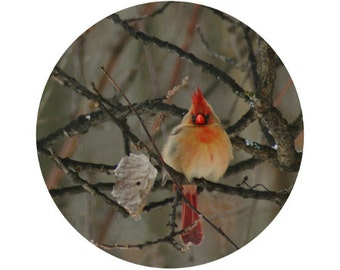 Female Cardinal, Bird Photograph, Black, Grey, Red, Crimson, Nature, Forest, Trees, Winter, Circle, Round Image - 5x5 inch Print