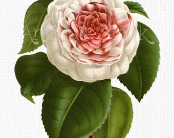 Flower PNG Clipart 'Pink and White Camellia' Vintage Floral Art Illustration for Collages, Graphic Design, Decoupage, Wall Decor, Invites...