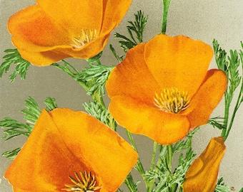 Bodega Bay, California - Poppy (Art Prints available in multiple sizes)