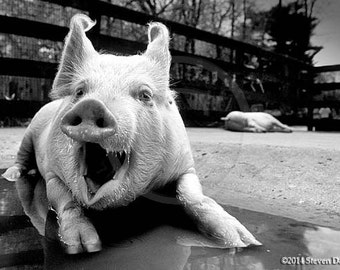 Pig Art,Laughing Pig Photo, Funny Wall Art,Humor Photo