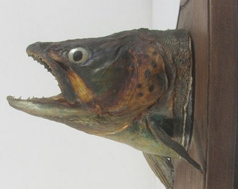 Taxidermy fish, French vintage taxidermy, taxidermy Trout, mounted taxidermy fish, collectible taxidermy, anglars trophy, fishing trophy,