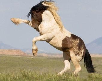 Warbonnet Rearing - Fine Art Wild Horse Photograph - Wild Horse - Warbonnet - Fine Art Print