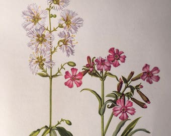 Starry campion and wild pink, antique botanical litho print 1954