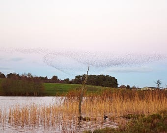 Starlings Murmuration, Nature, Photography Print - 12x8 inches