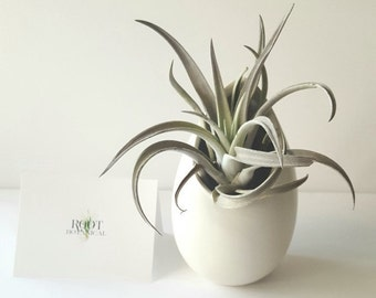 """Medium White Hanging Ceramic """"Egg"""" Planter with Air Plant Included, Care Instructions, Gift Boxed"""