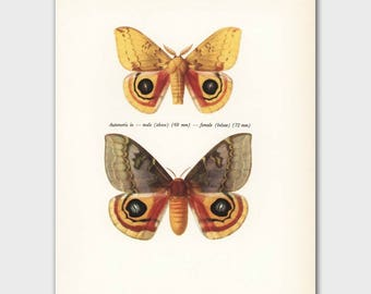 "Vintage Butterfly Print (His and Hers Gifts, Home Wall Decor, Male & Female Butterflies Art) --- ""Nocturnal Io Moths"" No. 58-2"