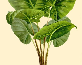 antique french botanical print,alocasia villeneuvi tropical plant illustration digital download